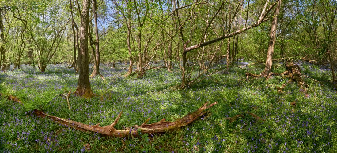 Christopher Chard | Bluebells at 19 acre wood