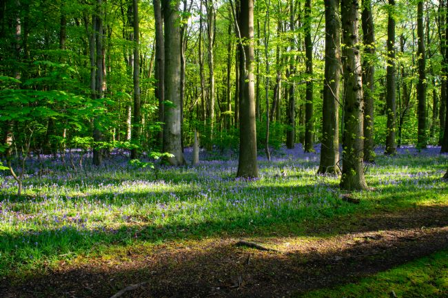 Warren Byrne | A walk in the Bluebells