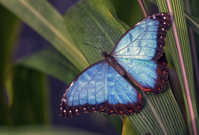 Jon Jones | Blue Morpho