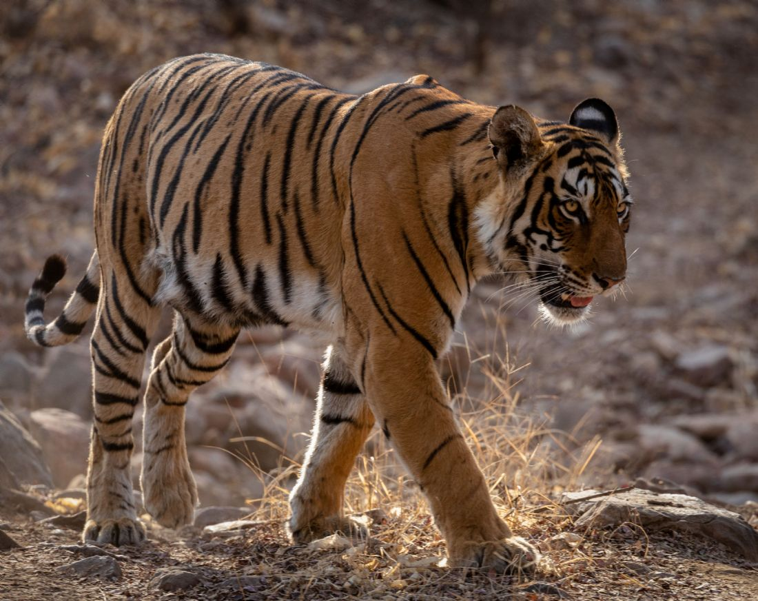 Peter Jackson | Tiger in Ranthambore
