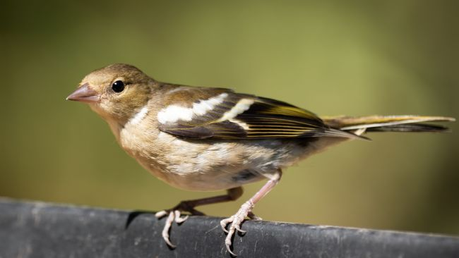 Peter Jackson | Chaffinch