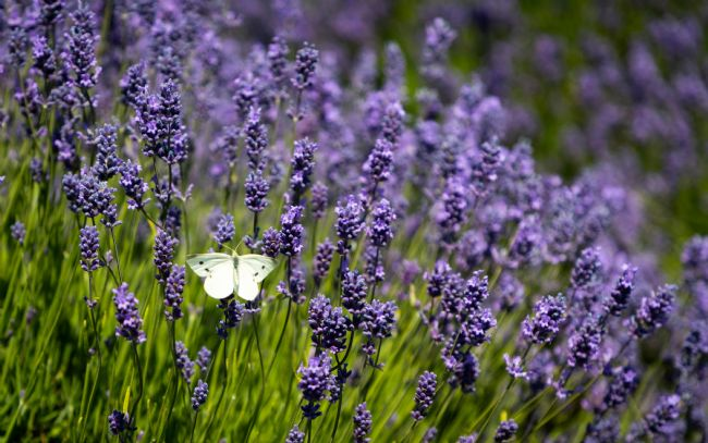 Peter Jackson | Butterfly in lavender