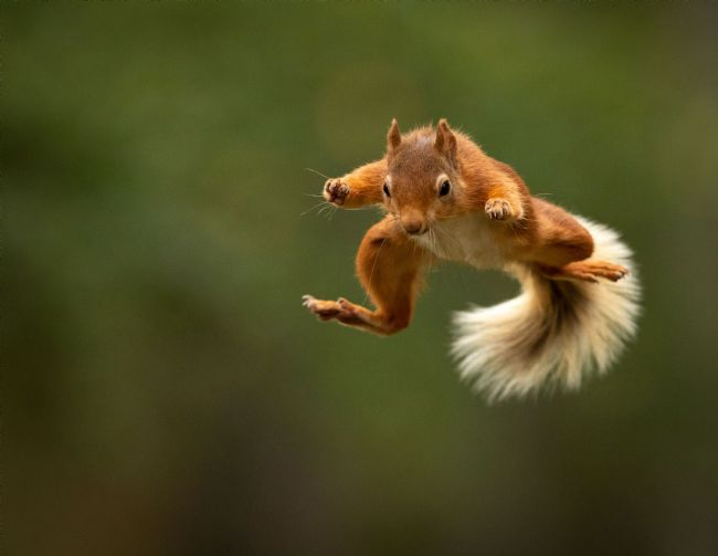 Peter Jackson | Jumping Red Squirrel