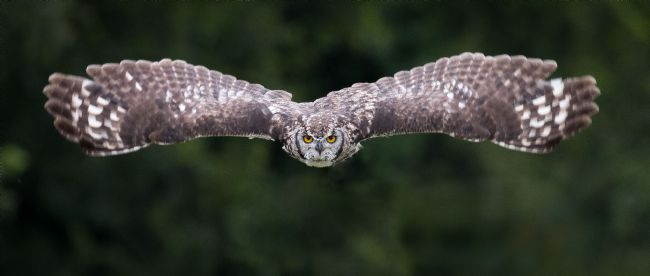 Peter Jackson | Tawny Owl in Flight
