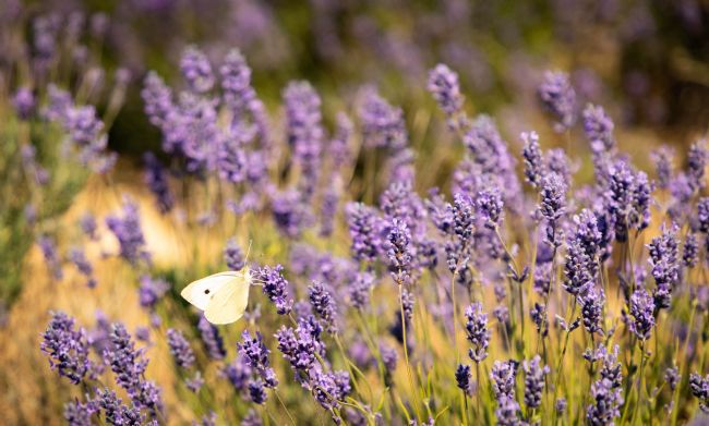 Peter Jackson | Butterfly in the Lavender